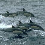 Дельфины вымирают