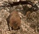 В Нью-Йорке и Вермонте умирают тысячи летучих мышей