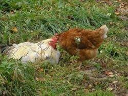 В Индии нарастает тревога по поводу угрозы распространения эпизоотии птичьего гриппа
