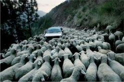 В Азербайджане «мерседесы» сбивают баранов