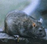 Крысы расскажут о миграции человека