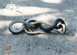 Как дерутся змеи? (фото)