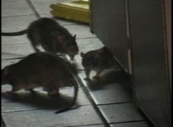 Уличную палатку с пирожками атаковали крысы (видео)