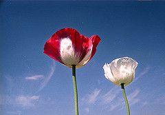Производство опиума в Афганистане продолжает расти