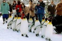В японском зоопарке прошел парад против ожирения пингвинов (видео)
