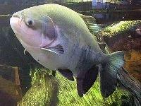 Рыбы помогают пальмам размножаться