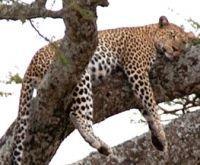 Леопарда в джунглях можно поймать с помощью мобильного телефона