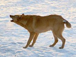 Одна бешеная собака за день покусала в Подмосковье 11 человек