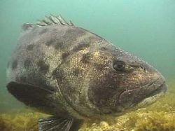 Медики создали прозрачную рыбу
