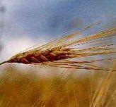 Цены на пшеницу растут как на дрожжах