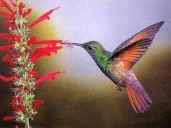 Колибри умеют петь хвостом