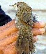 В Непале найден новый вид птиц