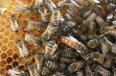 Пчелы спасут испорченное здоровье россиян