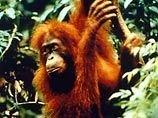 Сингапур скорбит: в зоопарке умерла мировая знаменитость, 50-летняя орангутаниха