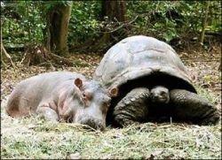 История про дружбу гиппопотама и черепахи (фото)