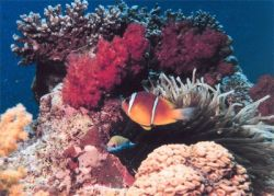 "Океанский \""термостат\"" спасет кораллы"