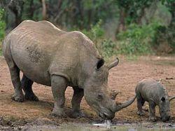 Детеныша черного кенийского носорога назвали в честь Кофи Аннана