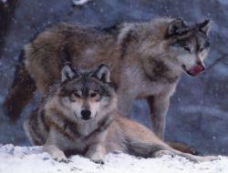В Туве расплодившиеся волки угрожают жизни людей