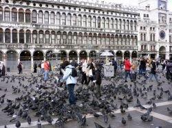 Венецианские голуби распространяют сальмонеллу