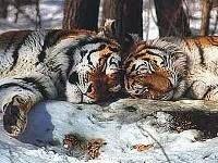 В войсковой части Киева обнаружили нелегальных тигров