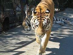 Минобороны «открестилось» от найденных в Киеве тигров