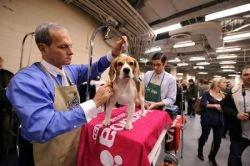 В Нью-Йорке проходит 132-я выставка собак Westminster Kennel Club (фото)