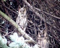 """В Озерске ушастые совы \""""протестуют\"""" против незаконных вырубок деревьев"""