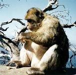 Зафиксирован ещё один пример человеческого поведения обезьян