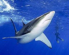 Исследователи отмечают самые низкие показатели нападений акул на людей за последние 20 лет