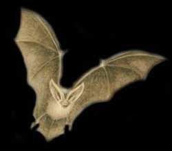 Летучие мыши развили способность к полету раньше способности к эхолокации
