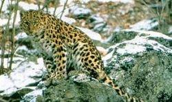 Амурский тигр загрыз дальневосточного леопарда