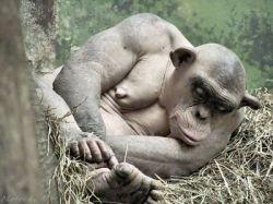 Облысевшая шимпанзе (фото)