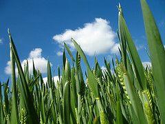 РФ ввела запрет на экспорт пшеницы и меслина