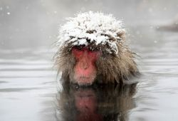 Японские макаки зимой живут в озере (фото)