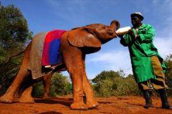 Питомник для маленьких слонов в Нейроби (фото)