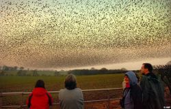 Чудо природы: тысячи скворцов в небе Шотландии (фото)