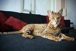 Ашера признана самой дорогой породой кошек в мире