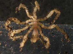В водах Антарктики обнаружены гигантские морские пауки