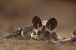 В Намибии безжалостно истребляют диких африканских собак