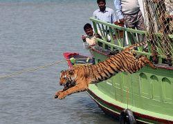 Индийские лесники спасли тигрицу от местных жителей (фото)