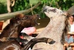 Лошадиные бои – популярное развлечение на  Филиппинах (фото)