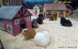Город для морских свинок (фото)