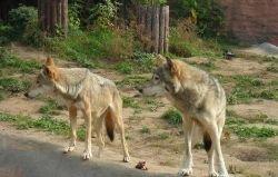 В США развелось много волков