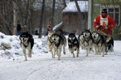 Гонки на собачьих упряжках можно увидеть в Швеции