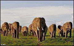 В ЮАР будут отстреливать слонов