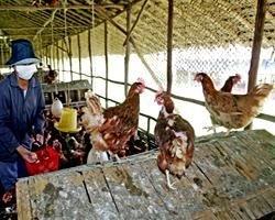 В Египте отмечен 44-й случай заражения человека птичьим гриппом