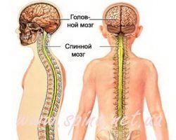 Ученые: спинной мозг способен регенерироваться