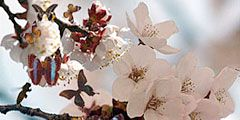 Фестивали цветов в Корее