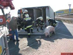 Забавная история про перевернутую фуру со свиньями (фото)