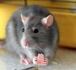 Ученым удалось вылечить подопытных крыс от рака мозга
